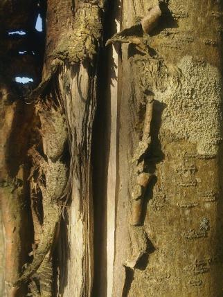 wood-rowan