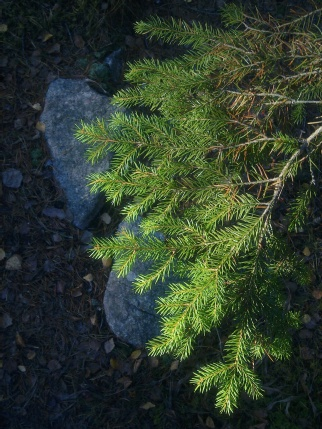 wood-spruce-ii