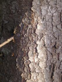 wood-spruce