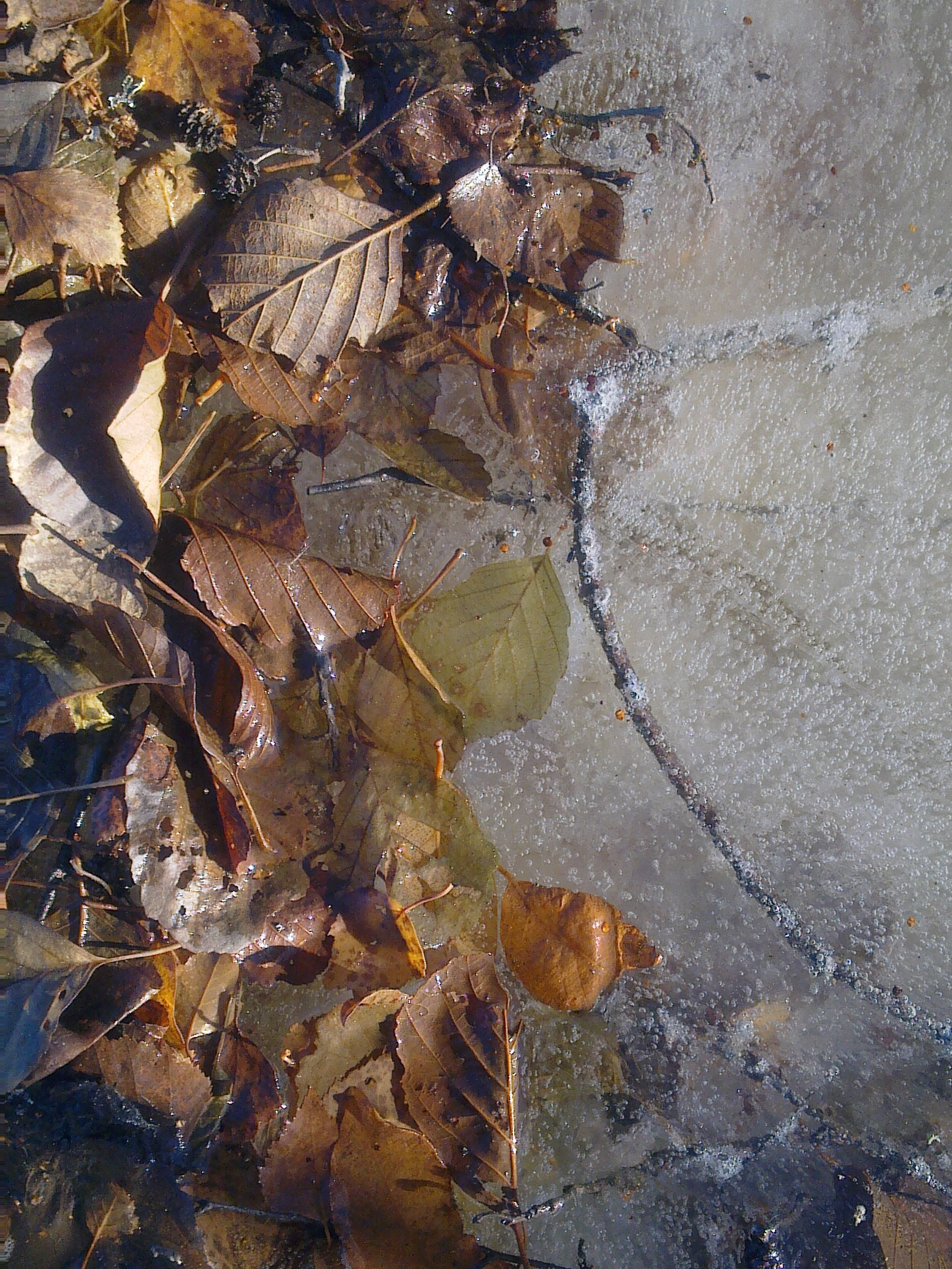 leaves-hugging-ice-3